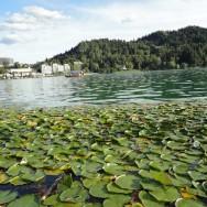 bled-nenufares-lago
